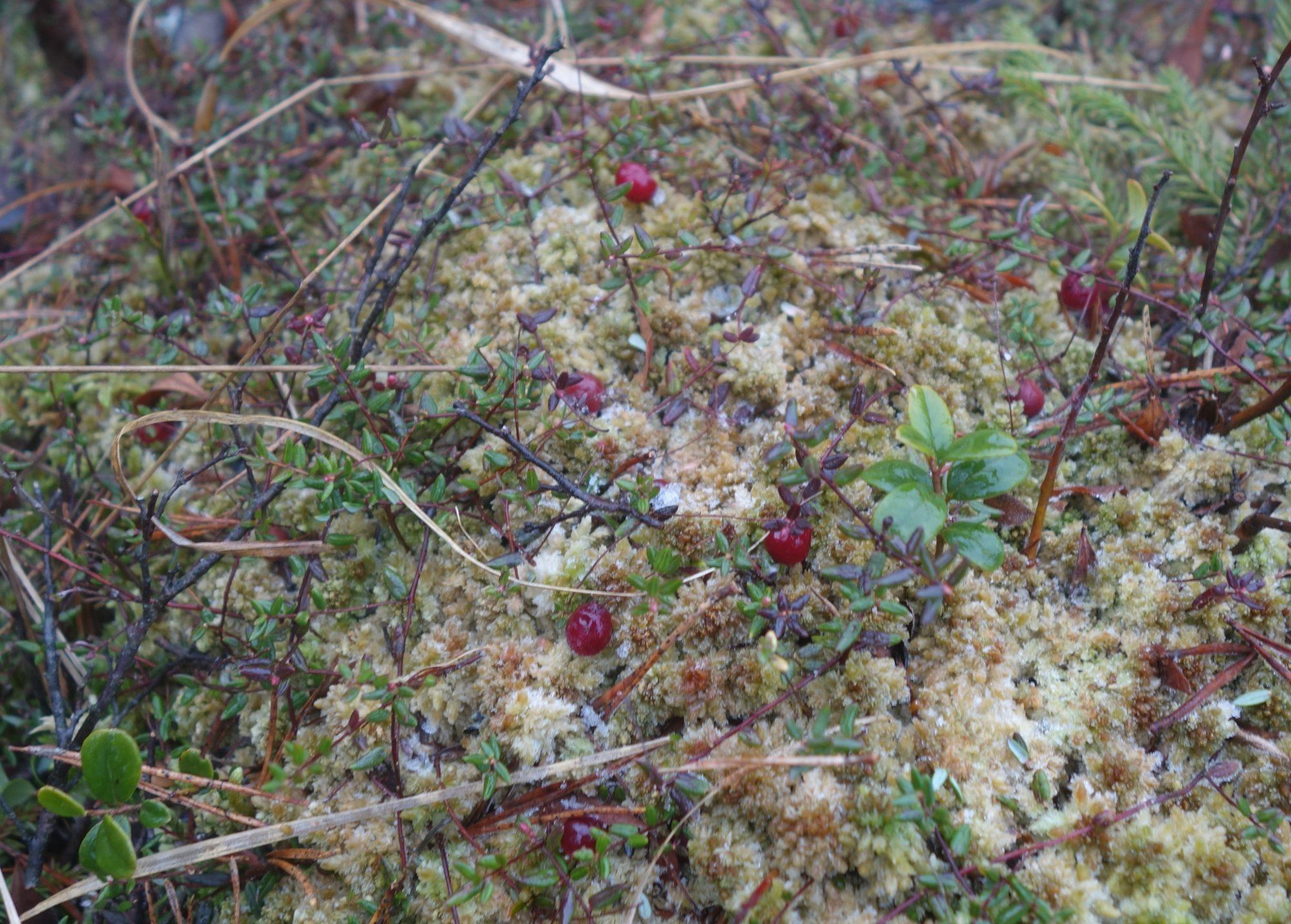 Crane berries