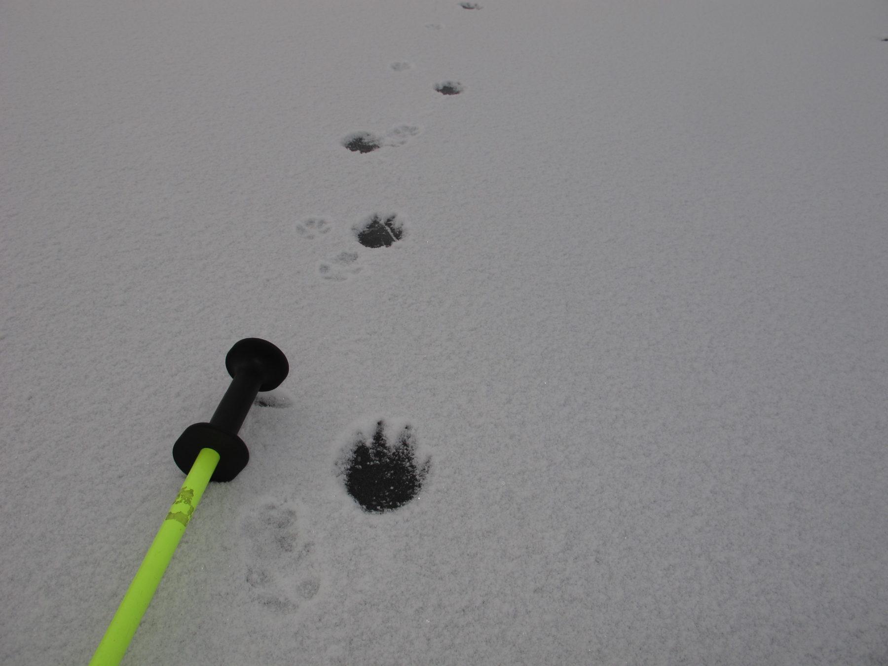 Wolf track on ice