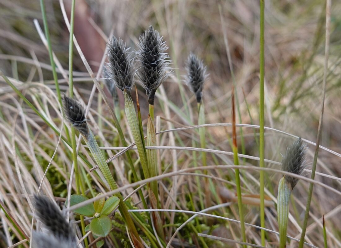 Typical specie vegetation on marshland Hare's-tail cottongrass are soon in blossom