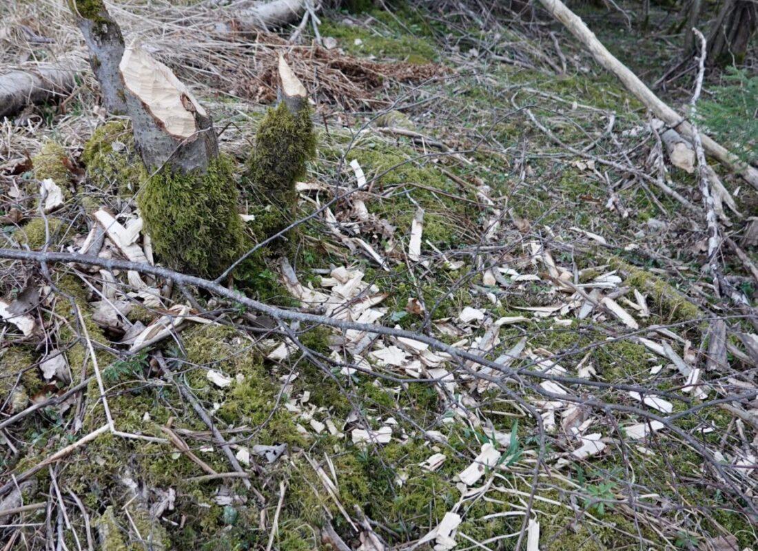 Beaver felling's
