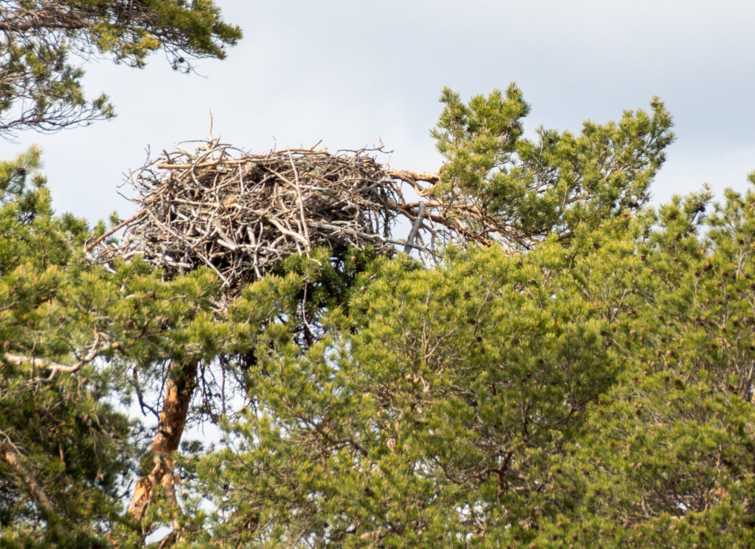 Ospreys nest